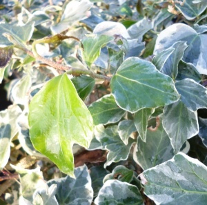 Hedera helix Little Diamond